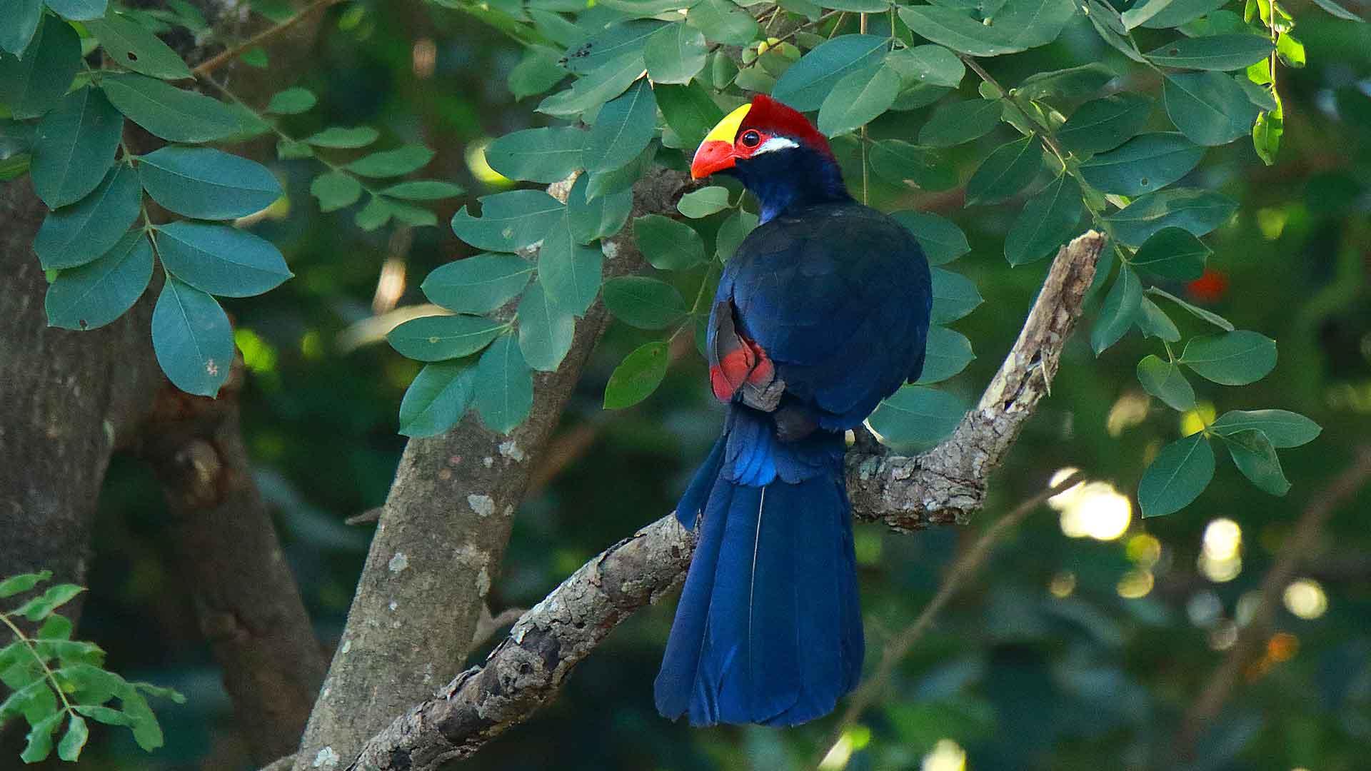 oiseaux forestier en Afrique
