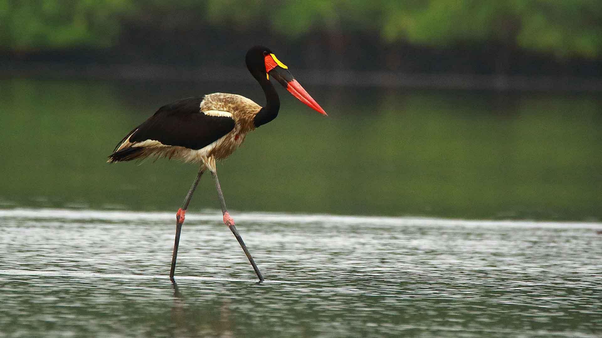 séjour ornithologique au Sénégal